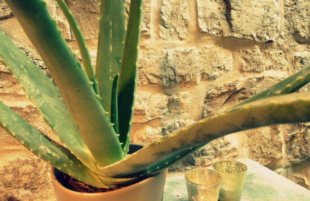 L aloe vera toute une pharmacie en pot participe pr sent - Aloe vera en pot ...