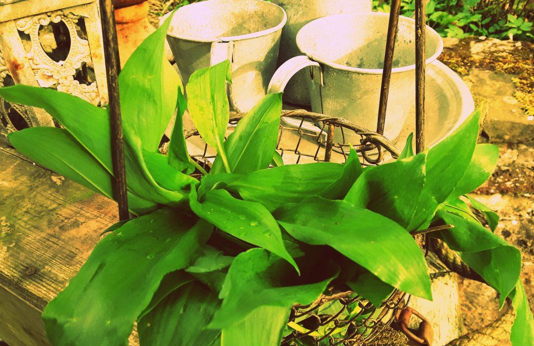 Cuisiner les plantes sauvages de saison